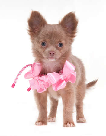 Portrait of a standing Chihuahua dog with pink ribbons on its neck photo