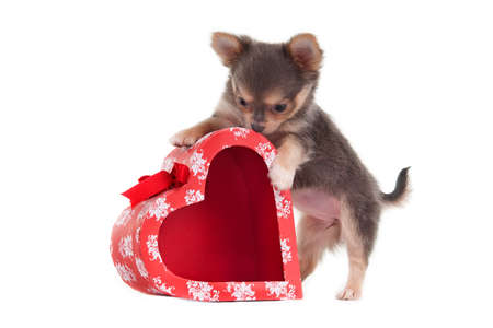 valentines dog: Chihuahua puppy is playing with heart shaped present box Stock Photo