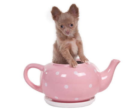 stand teapot: Chihuahua puppy sitting in a pink tea pot Stock Photo