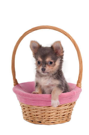 Chihuahua puppy having a rest in a handmade basket photo