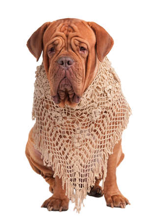 Portrait of a big dogue de bordeaux with a handmade beige shawl isolated on white background photo