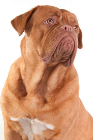 Portrait of serious puppy of french mastiff breed looking aside isolated on white background photo