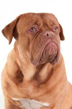 Portrait of serious puppy of dogue de bordeaux breed looking aside isolated on white background photo