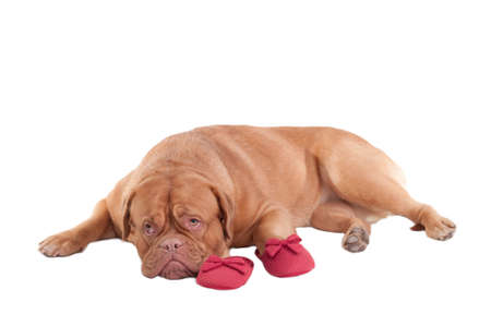 miss: Lovely Puppy of Dogue de bordeaux breed lying next to glamorous red slippers of its master isolated on white background Stock Photo