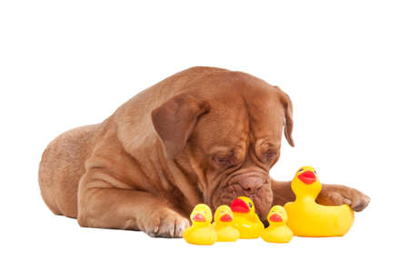 Lovely puppy of dogue de bordeaux breed playing with plastic yellow duck toys isolated on white background photo