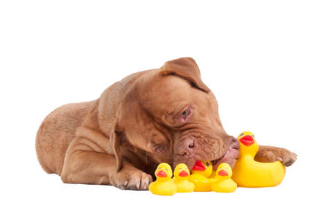 Lovely puppy of dogue de bordeaux breed playing with yellow duck toys isolated on white background Stock Photo - 8841880