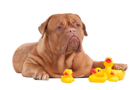 squeak: Puppy of Dogue De Bordeaux breed looking up while playing with duck toys isolated on white background