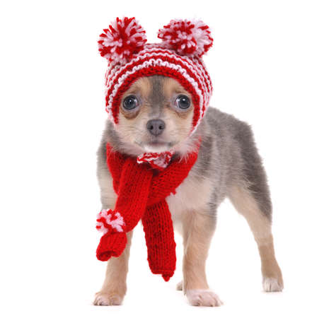 Chihuahua puppy with red and white striped hat with funny pompons isolated on white background photo