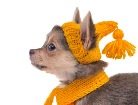 Portrait of 3 month old chihuahua puppy with funny yellow hat and scarf photo
