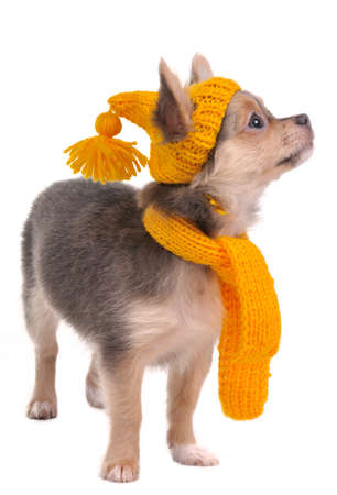 chiwawa: 3 month old Chihuahua puppy with yellow hat and scarf isolated on white background