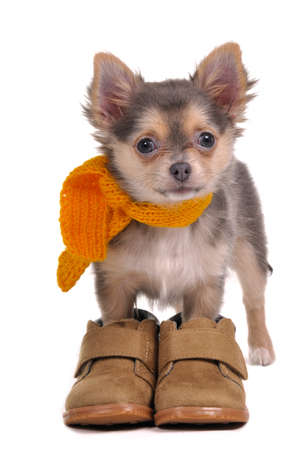 3 month old chihuahua puppy with boots and scarf