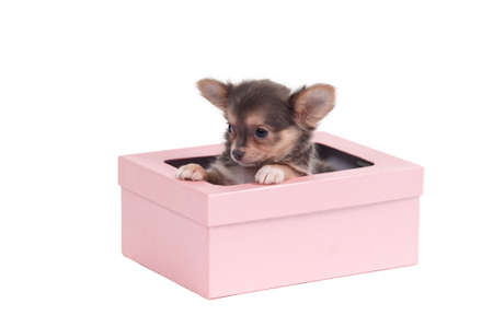 three months old: Three months old cute chihuahua puppy hiding in pink gift box isolated on white background Stock Photo