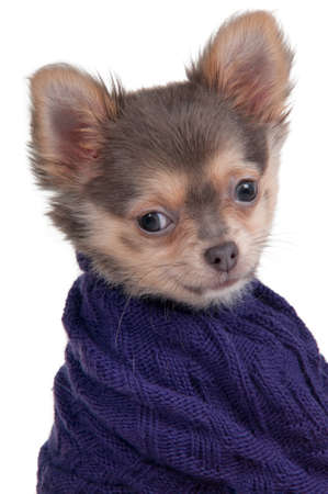 Portrait of a tiny Chihuahua dog with a blue sweater photo