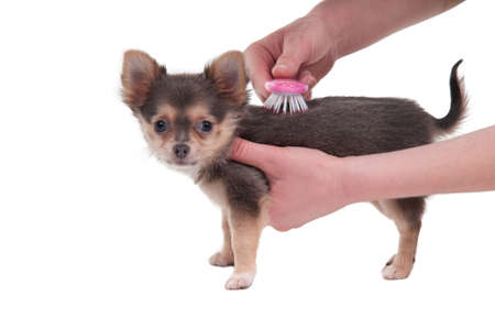 chihuahua 3 months old: Tiny 3 months old Chihuahua puppy is being brushed at the groomer isolated on white bakcground