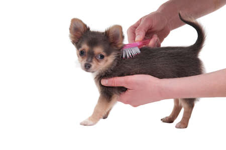 Three months old cute Chihuahua puppy is being brushed by its master isolated on white background Stock Photo - 8841865