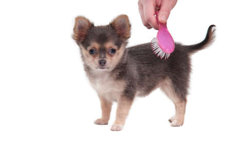 groomer: Tiny Chihuahua puppy is combed with a pink brush isolated on white background
