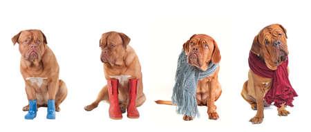 perros vestidos: Cuatro perros vestida en invierno y ropa de oto�o aisladas sobre fondo blanco Foto de archivo