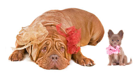 Adult Dogue De Bordeaux and Chihuahua puppy (both with beautiful bows) isolated on white photo