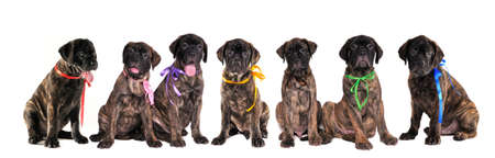 Seven 3 months old puppies of bullmastiff in front of the white background photo