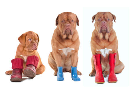 Different ages of Dogue De Bordeaux (French Mastiff) dogs with various boots (shoes, boots, wellington boots) for all seasons isolated on white background photo