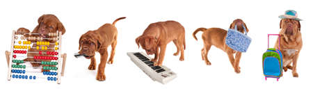 Different ages Dogue De Bordeaux Puppies in different occupations (counting with abacus, carring mobile phone, playing piano, carrying bag and going to vaction) isolated on white background photo