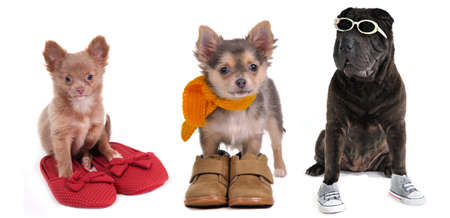 Three puppies (two chihuahua puppies and black shar-pei) with different footwear (slippers, boots and sneackers) isolated on white background Stock Photo - 8927340