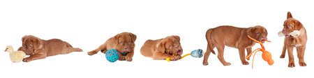 Five Dogue De Bordeaux Playing with different toys (fur yellow duck, blue rubber ball, blue rubber pear with rope, orange octopus and a bone) isolated on white background photo
