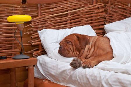 Dogue De Bordeaux Comfortably Sleeping in bed with white sheets photo