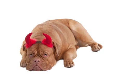 Dogue de bordeaux puppy with red horns lying on the floor isolated on white background photo