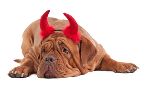 Huge dogue de bordeaux dog with red hornes isolated on white background photo