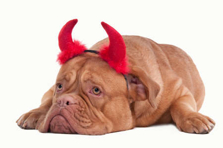 Sad dogue de bordeaux with red horns lying on the floor and looking aside isolated on white background photo