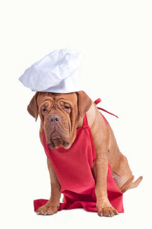 pizza maker: Big dog of dogue de boedeaux breed dressed as an italian pizza maker isolated on white background Stock Photo