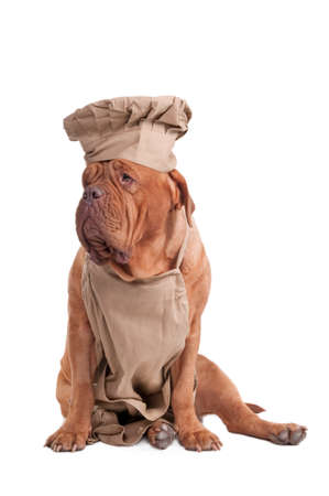 Kind dogue de Bordeaux dressed like Italian Chef looking aside isolated on white background photo