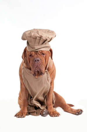 french mastiff: Tired Dogue de Bordeaux dressed as Chef isolated on whiite background Stock Photo