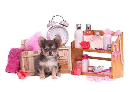 pet grooming: Set of SPA and pink body relaxation objects and a cute chihuahua puppy isolated on white background