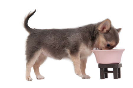 chihuahua 3 months old: 3 months old chihuahua puppy eating from pink bowl. Horizontal, color image.