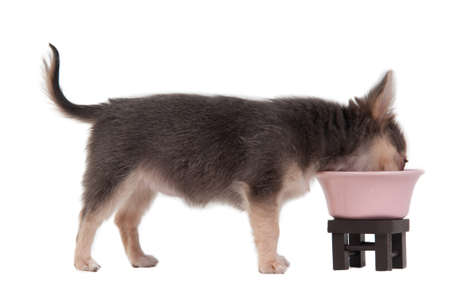 3 months old chihuahua puppy drinking from pink bowl. Horizontal, color image. Stock Photo