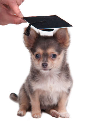 Chihuahua puppy wearing a mortar board hat for graduation isolated on white background photo