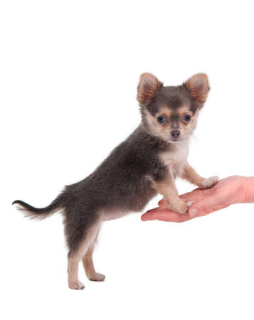 Tiny Chihuahua standing on its hind legs and looking at the camera isolated on white photo