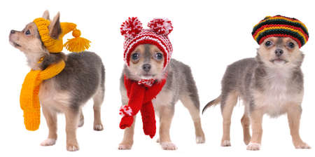 Three chihuahua puppies dressed in Winter and Autumn Clothes isolated on white background photo