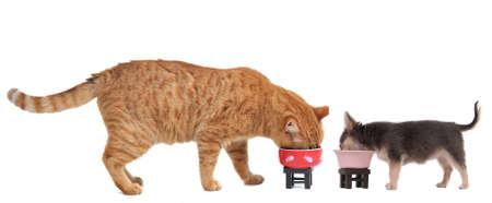 perro comiendo: Lindo gato y peque�o perrito Chihuahua son comer su almuerzo sabroso aislada sobre fondo blanco Foto de archivo