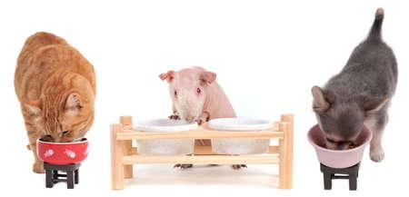 cavie: Affamato gattino rosso, cucciolo di Chihuahua e cavia Skinny stanno mangiando in piedi vicino a vicenda isolato su sfondo bianco Archivio Fotografico