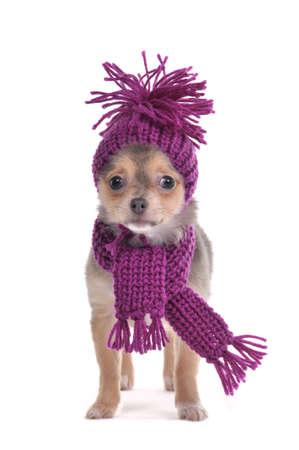 perros vestidos: Tres meses viejo perrito Chihuahua pasarlo Dressed para el fr�o aisladas sobre fondo blanco