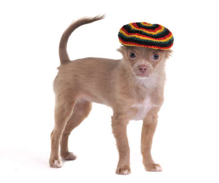 chihuahua 3 months old: Funny 3 months old chihuahua puppy standing with rastafarian hat isolated on white background Stock Photo