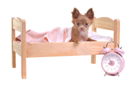 Just awaken 3 months old chihuahua puppy lying in a bed with alarm-clock standing near it isolated on white background photo