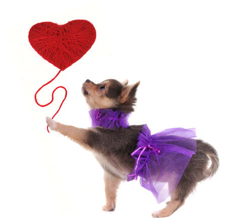 Romantic chihuahua puppy holding red heart in her paw isolated on white background