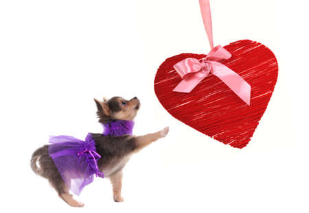 Chihuahua puppy dressed in glamour style playing with red heart isolated on white background photo