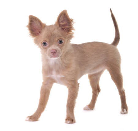 chihuahua 3 months old: Funny 3 months old Chihuahua puppy poses on a white background