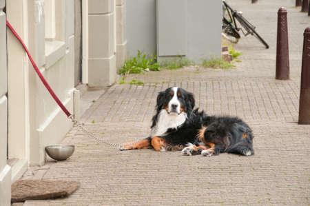 sennenhund: Berner Sennenhund avendo un disteso sul pavimento vicino alla casa di riposo