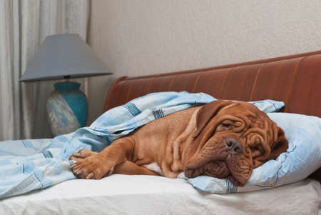 Lovely dog of Dogue De Bordeaux breed is Sleeping Sweetly in Owners Bed